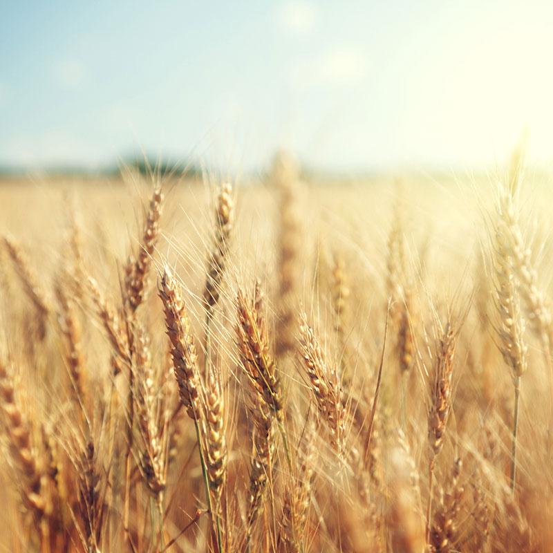 Wheat field close up